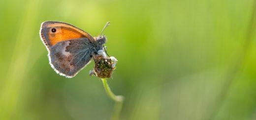 Small Heath (Coenonympha pamphilus) - Collard Hill, Somerset, UK. ID 825_1919