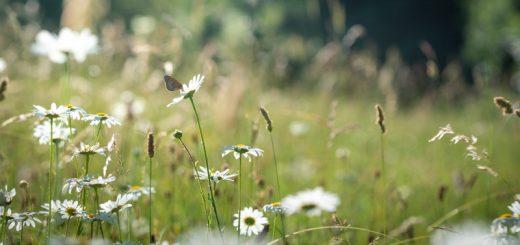 Meadow Brown (Maniola jurtina) on Oxeye Daisies - Ivythorn Hill, Somerset, UK. ID 825_2031