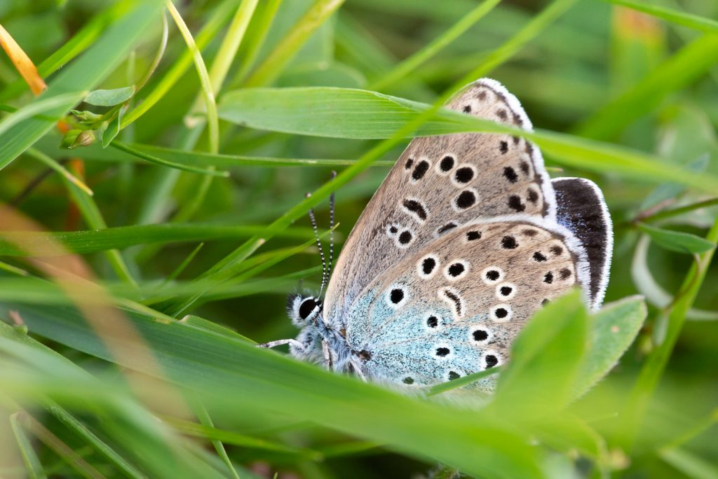 Large Blue (Maculinea arion) - Collard Hill, Somerset, UK. ID 825_2063