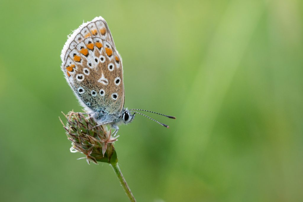Common Blue (Polyommatus icarus) - Collard Hill, Somerset, UK. ID 825_2110