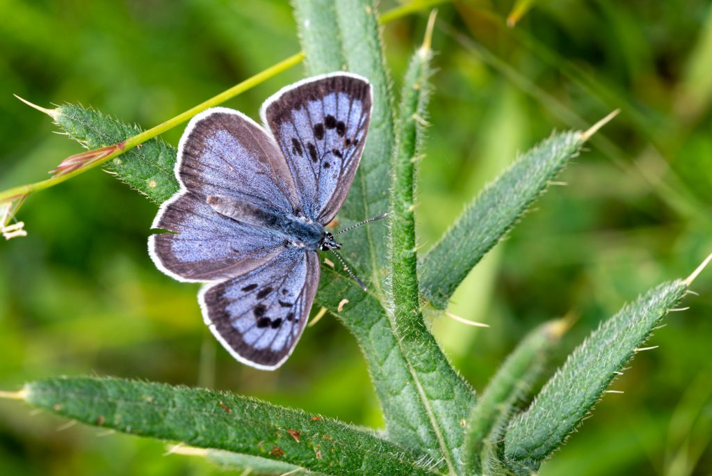 Large Blue (Maculinea arion) - Collard Hill, Somerset, UK. ID 825_2158