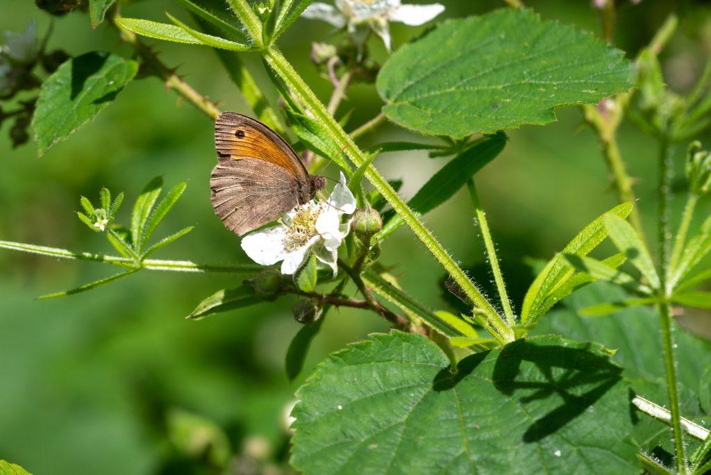 Meadow Brown (Maniola jurtina) - Lynchcombe, Somerset, UK. ID 825_2646