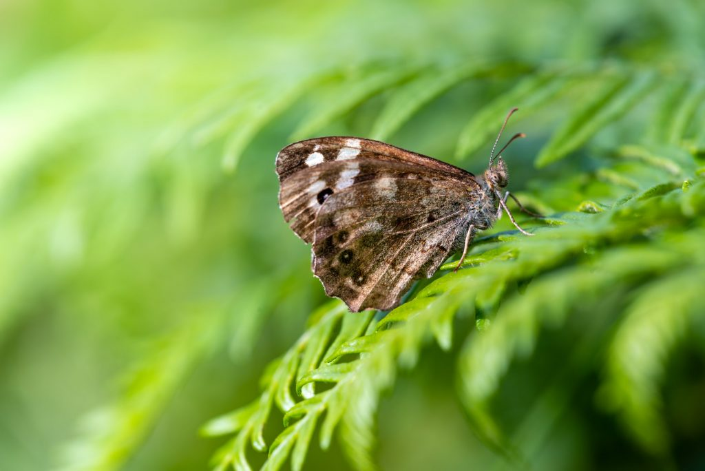 Speckled Wood (Pararge aegeria) - Lynchcombe, Somerset, UK. ID 825_2668