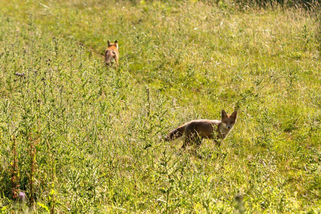 Fox (Vulpes vulpes) - Lynchcombe, Somerset, UK. ID 825_2775
