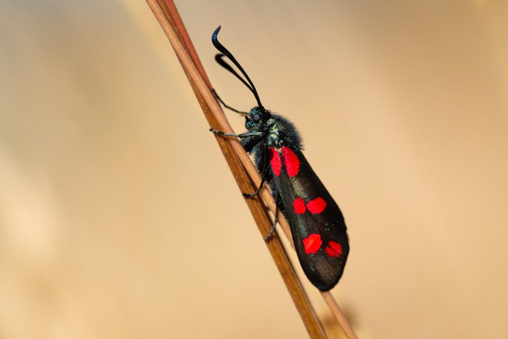Six-spot Burnet Moth (Zygaena filipendulae) - Lynchcombe, Somerset, UK. ID 825_2825