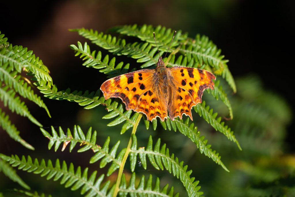 Comma (Polygonia c-album) - Lynchcombe, Somerset, UK. ID 825_2937