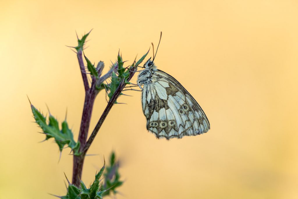 Marbled White (Melanargia calathea) - Lynchcombe, Somerset, UK. ID 825_2969