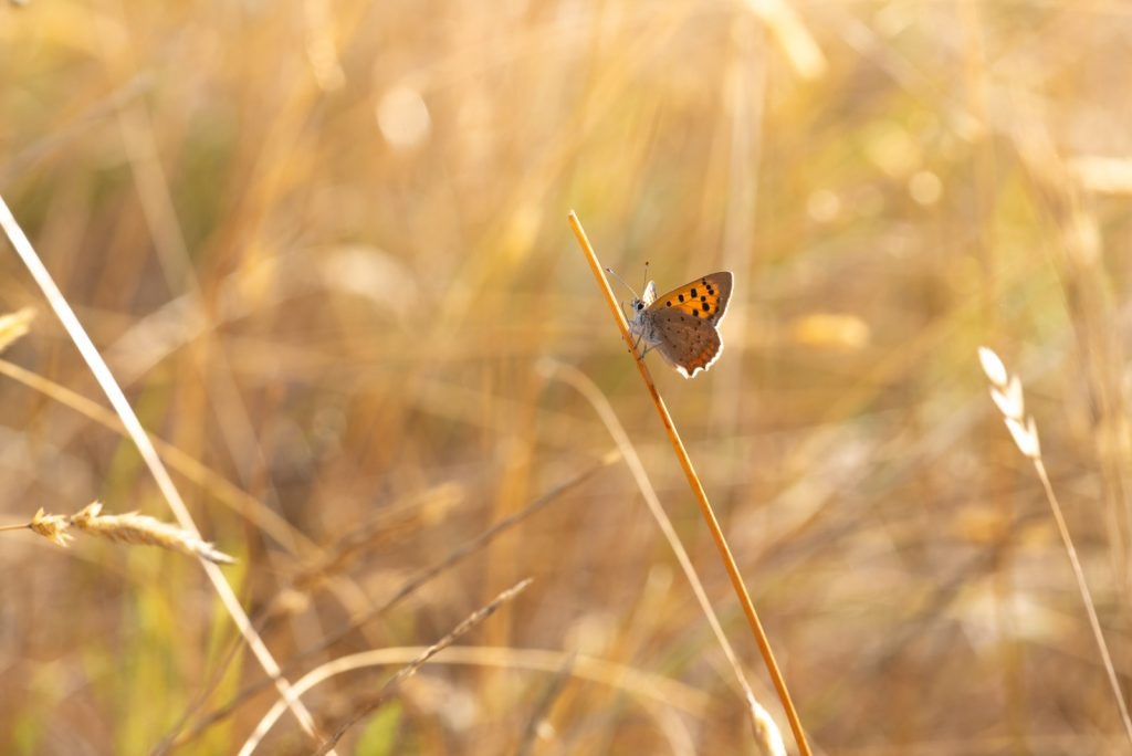 Small Copper (Lycaeena phlaeas) - Lynchcombe, Somerset, UK. 825_3254