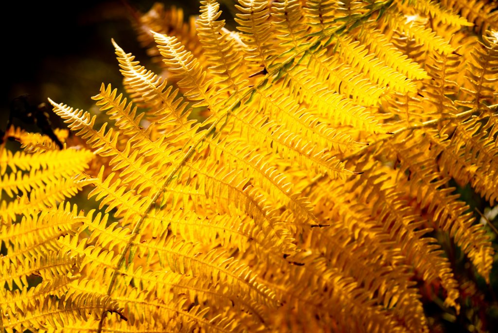 Golden Bracken - Lynchcombe, Somerset, UK. ID 825_3273