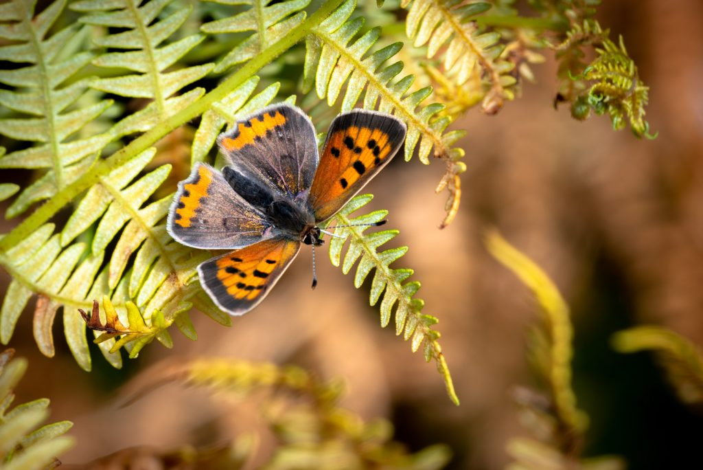 Small Copper (Lycaeena phlaeas) - Lynchcombe, Somerset, UK. 825_3353
