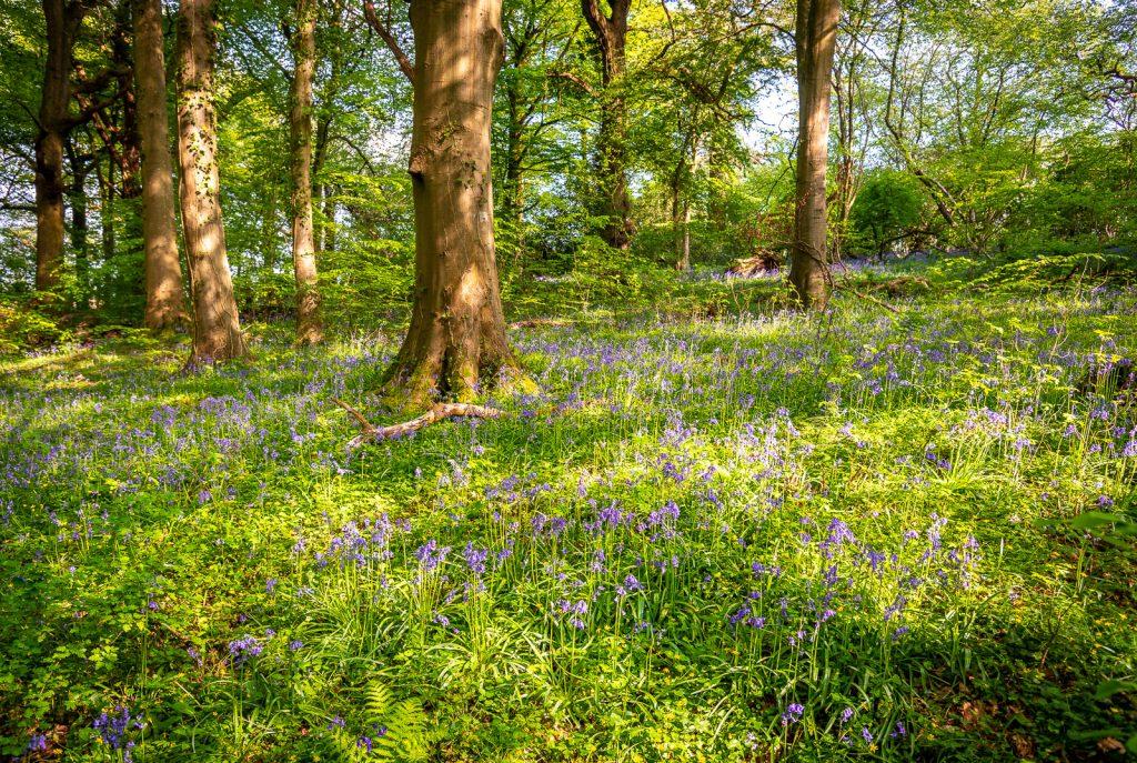 Bluebells - Park Wood, Wells, Somerset, UK. ID 825_9409