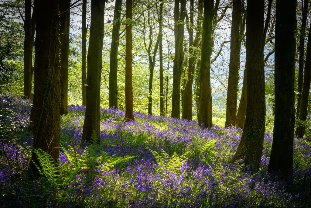 Bluebells in the Gorse Plantation - Wells, Somerset, UK. ID 825_9759