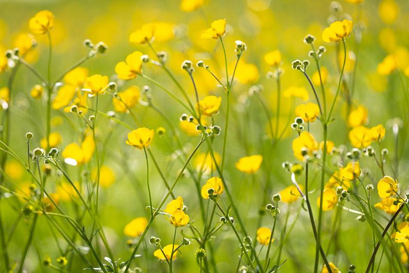 Buttercup Field - Oxmoor, Clewer, Somerset, UK. ID 825_9792