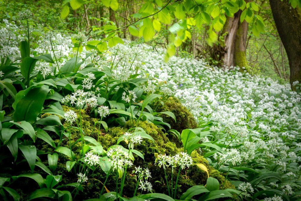 Wild Garlic at Kings Wood - Mendip Hills, Somerset, UK. ID 825_9951