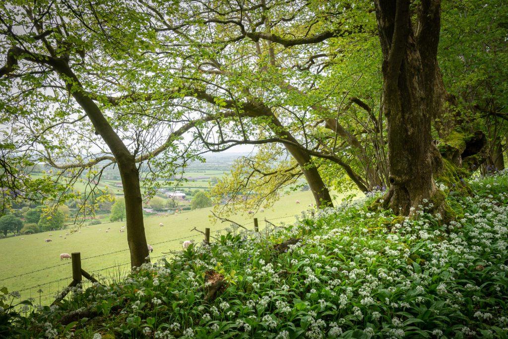 Wild Garlic at Kings Wood - Mendip Hills, Somerset, UK. ID 825_9966