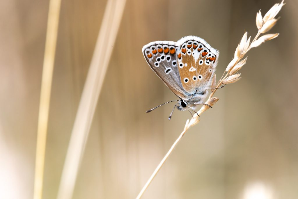 Brown Argus (Aricia agestis) - Lynchcombe, Somerset, UK. ID 825_3617
