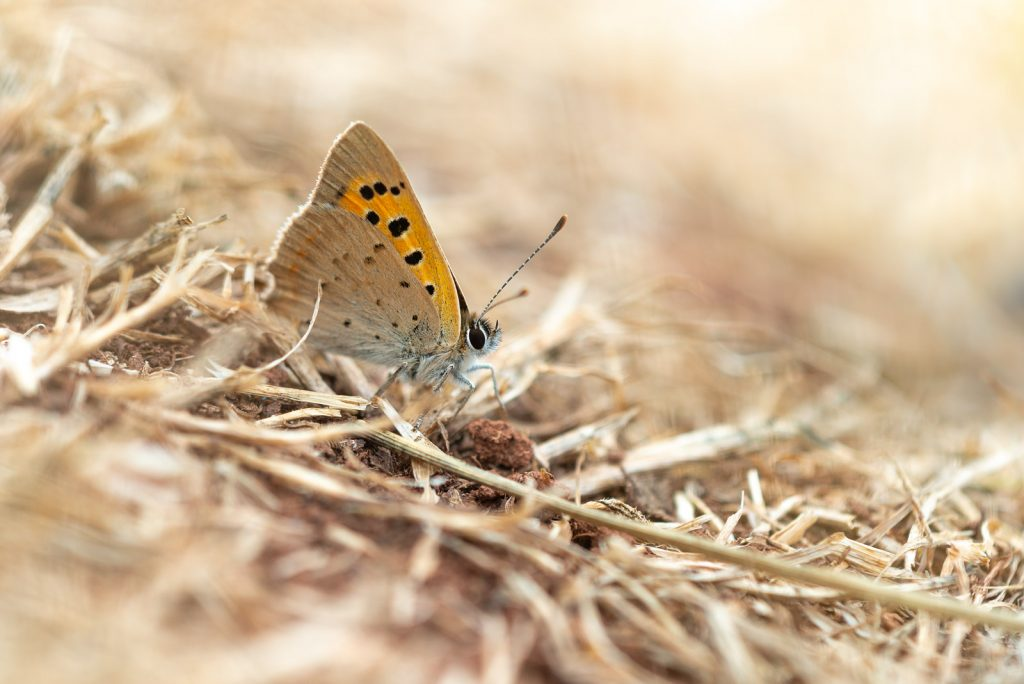 Small Copper (Lycaeena phlaeas) - Lynchcombe, Somerset, UK. 825_4209