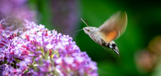 Humming bird Hawk-moth (Macroglossum stellatarum) - Lynchcombe, Somerset, UK. ID 825_4246