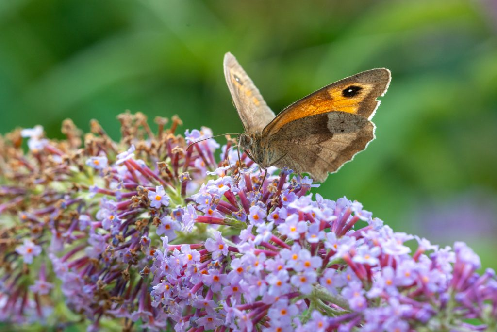 Meadow Brown (Maniola jurtina) - Lynchcombe, Somerset, UK. ID 825_4409
