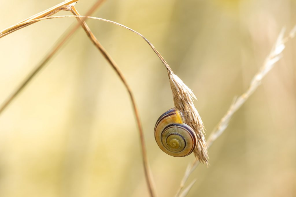 White lipped Snail (Cepaea hortensis) - Lynchcombe, Somerset, UK. ID 825_4450