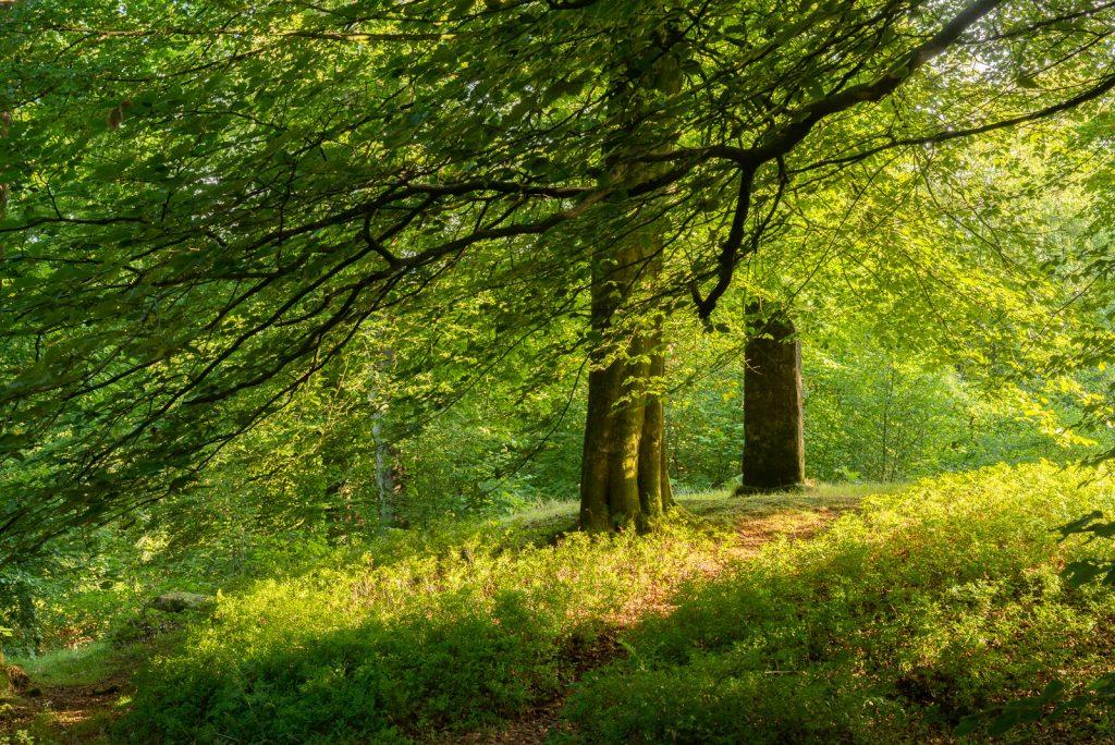 Beacon Hill Woods - Mendip Hills, Somerset, UK. ID 825_4919