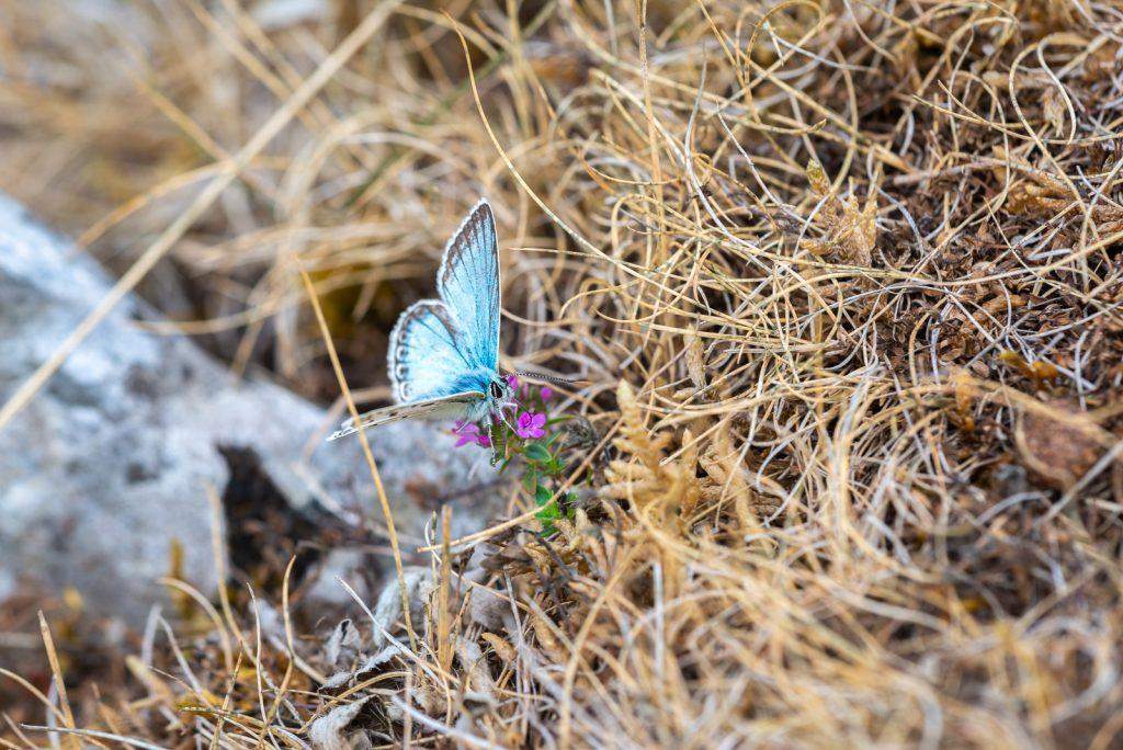 Chalkhill Blue (Polyommatus coridon) - Draycott Sleights, Somerset, UK. ID 825_5313
