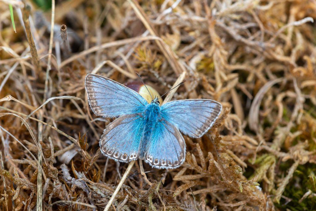Chalkhill Blue (Polyommatus coridon) - Draycott Sleights, Somerset, UK. ID 825_5383