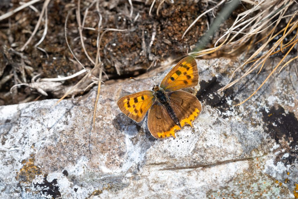 Small Copper (Lycaeena phlaeas) - Draycott Sleights, Somerset, UK. 825_5556