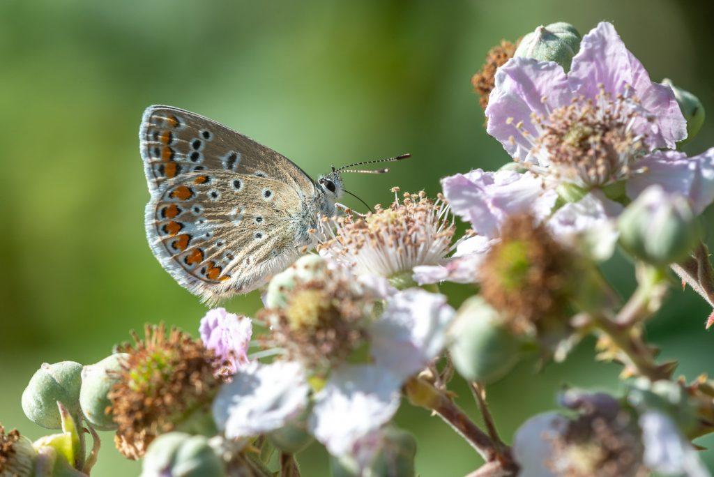 Common Blue (Polyommatus icarus) - Lynchcombe, Somerset, UK. ID 825_6113