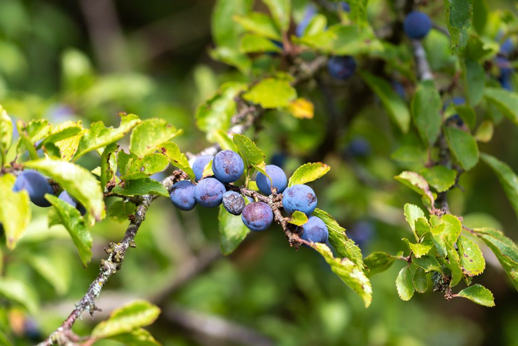 Sloe berries on Blackthorn - Lynchcombe, Somerset, UK. ID 825_6681