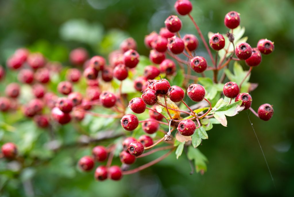 Hawthorn Berries - Lynchcombe, Somerset, UK. ID 825_6993