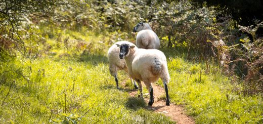 Sheep - Lynchcombe, Somerset, UK. ID 825_7525