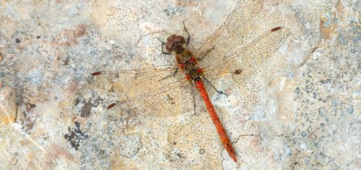 Common Darter (Sympetrum striolatum) - Waldegrave Pond, Priddy, Somerset, UK. ID 825_8158