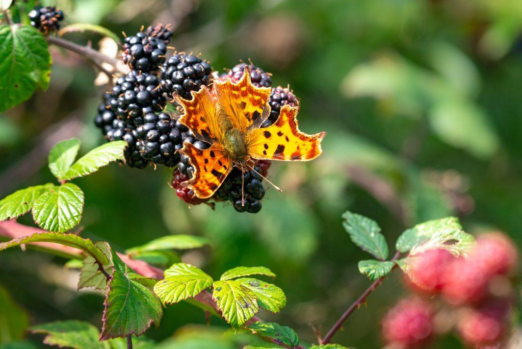 Comma (Polygonia c-album) on Blackberries - Lynchcombe, Somerset, UK. ID 825_8659