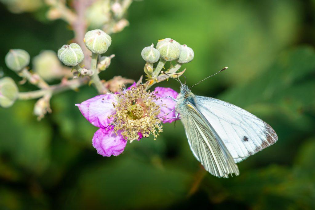 Small White (Pieris rapae) - Lynchcombe, Somerset, UK. ID 825_8799