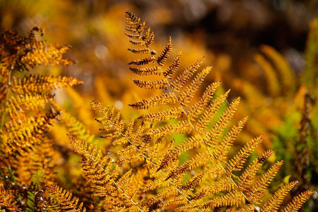 Golden Bracken - Langford Heathfield, Somerset, UK. ID 826_1501