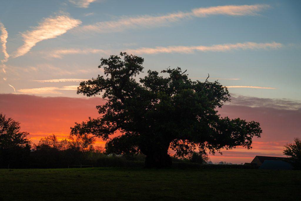The 700 year old oak - Charlton Musgrove, Somerset, UK. ID 826_1958