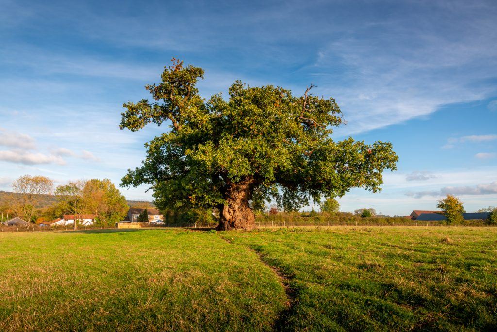 The 700 year old oak - Charlton Musgrove, Somerset, UK. ID 826_1992