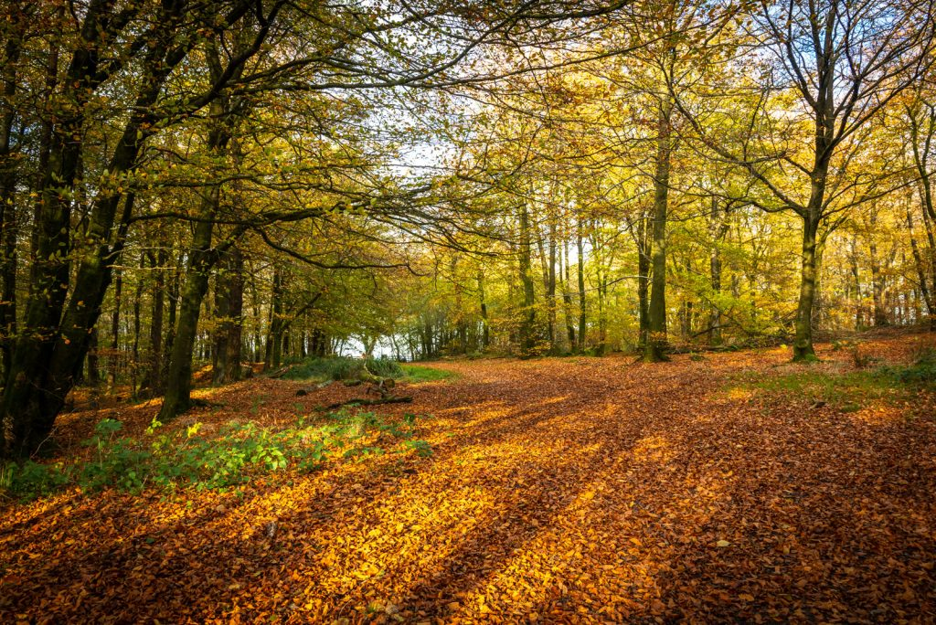 Autumn Leaves - Beacon Hill Woods, Somerset, UK. ID 826_2287