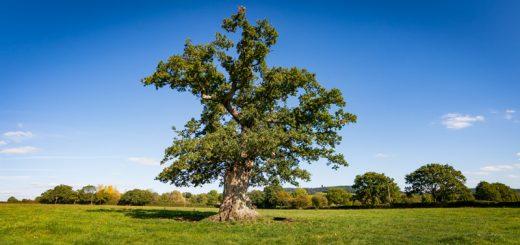 Oak - South Brewham, Somerset, UK. ID DSC_3573P