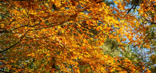 Autumn Leaves - Thurlbear Woods, Somerset, UK. ID 826_2386