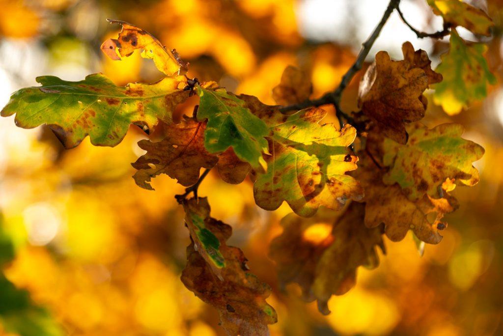 Autumn Leaves - Lynchcombe, Somerset, UK. ID 826_2751