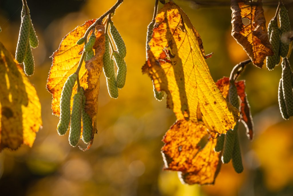 Autumn Leaves - Lynchcombe, Somerset, UK. ID 826_2887