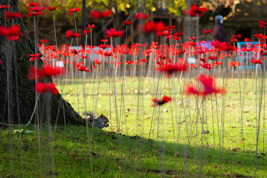 The Somerset Poppies - Bishops Palace, Wells, Somerset, UK. ID 826_4704