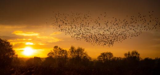 Starling Murmuration - Loxtons Marsh, Ham Wall, Somerset, UK. ID 826_6928