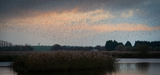 Starling Murmuration - Loxtons Marsh, Ham Wall, Somerset, UK. ID 826_8751