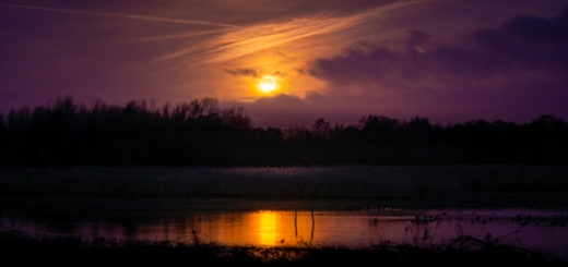 Starling Dawn - Loxtons Marsh, Ham Wall, Somerset, UK. ID 827_7330