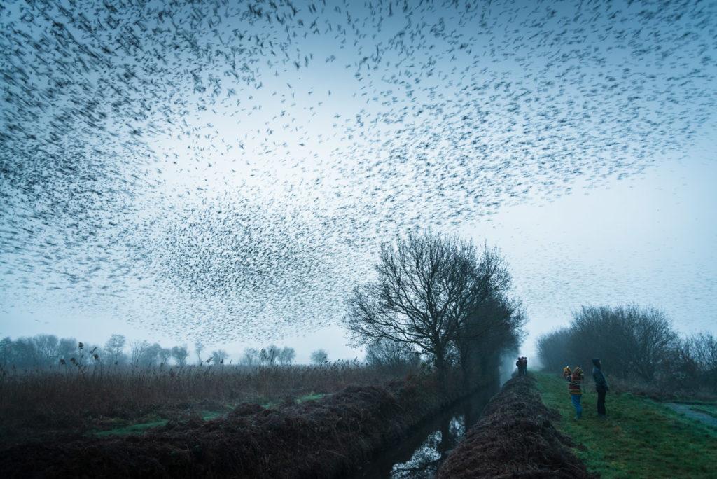 Starling Dawn - Loxtons Marsh, Ham Wall, Somerset, UK. ID 827_8068