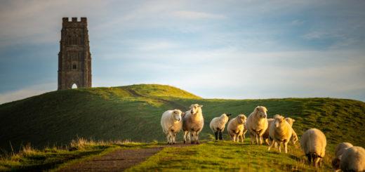 Sheep - Glastonbury Tor, Somerset, UK. ID 827_8188