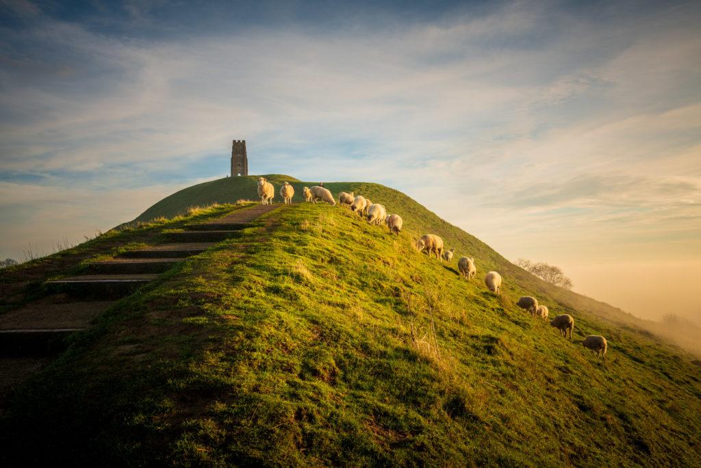 Sheep - Glastonbury Tor, Somerset, UK. ID 827_8206